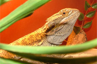 gonzo the bearded dragon