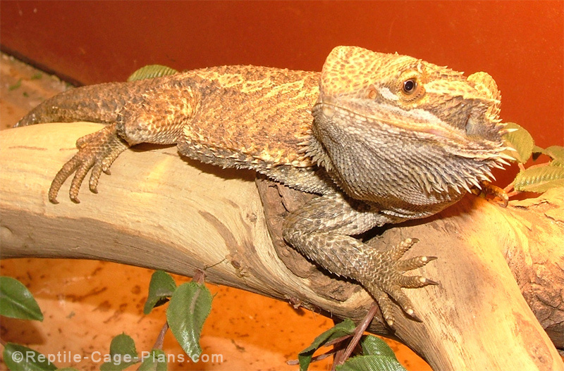gonzo the bearded dragon · gonzo the bearded dragon & How to build enclosures for reptiles - custom snake cages - arboreal ...