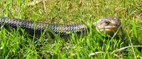 blue tongue skink pictures
